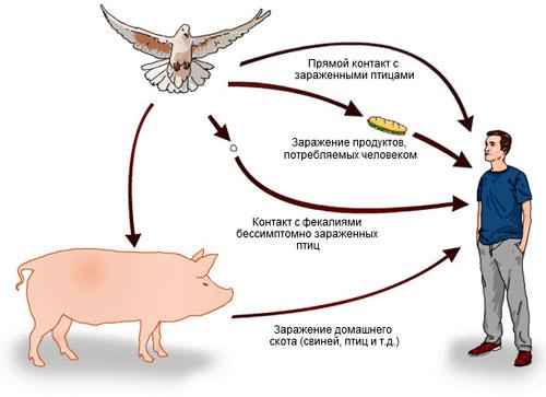 Возможные способы заражения сальмонеллёзом