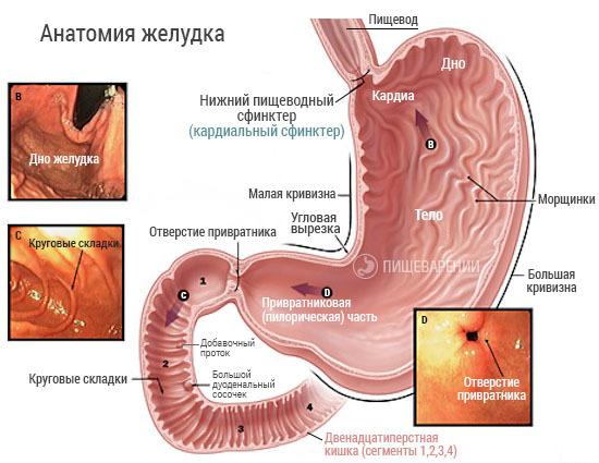 детальная анатомия желудка и двенадцатиперстной кишки